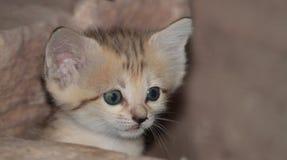 Kattunge för sandkatt royaltyfri fotografi