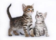 Kattunge för skott som två sitter på en white Royaltyfria Bilder
