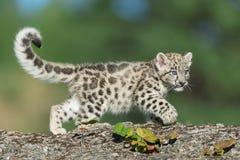 Kattunge för snöleopard fotografering för bildbyråer