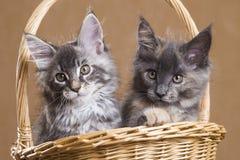 Kattunge för två Maine Coon i en korg arkivfoton
