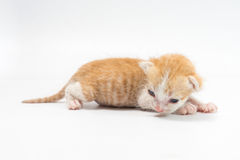 Kattunge 2 gamla veckor på vit bakgrund Arkivfoto