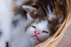 Kattunge i basket#2 Arkivfoton