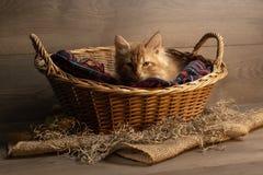Kattunge i en korg royaltyfri fotografi