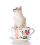 Kattunge i en tekopp Royaltyfri Fotografi