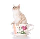 Kattunge i en tekopp Royaltyfria Bilder