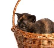 Kattunge i en träkorg arkivfoton