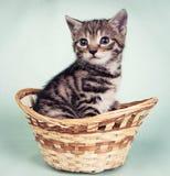 Kattunge i en vävd korg Fotografering för Bildbyråer