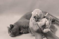 Kattunge i handen, brittiska Shorthair Royaltyfri Foto