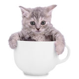 Kattunge i kopp Arkivbild