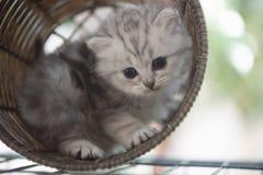 Kattunge i korg Fotografering för Bildbyråer