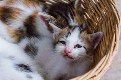 Kattunge i korg Arkivbild