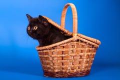 kattunge i korgen Royaltyfri Fotografi