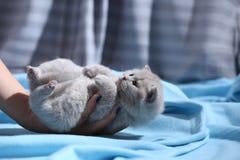 Kattunge i kvinnahanden, brittiska Shorthair Arkivfoto