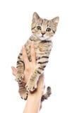 Kattunge i kvinnliga händer fotografering för bildbyråer