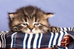 kattunge little Arkivbilder