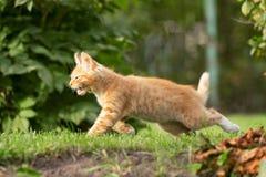 kattunge little som kör Arkivfoton