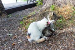 kattunge och dess moder arkivfoto
