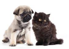 kattunge och svartmopsvalp Fotografering för Bildbyråer