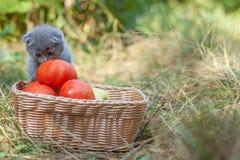 Kattunge och tomater för skotskt veck ung Royaltyfri Bild