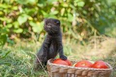Kattunge och tomater för skotskt veck ung Arkivbilder