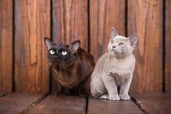 Kattunge- och vuxen människakatten föder upp europeiskt burmese-, fader- och sonsammanträde på träbakgrund Grå färger och brunt,  arkivfoto