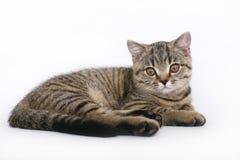 Kattunge på en vit bakgrund Royaltyfri Foto