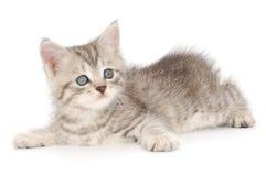 Kattunge på en vit bakgrund Fotografering för Bildbyråer