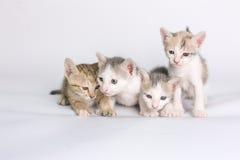 Kattunge på en vitbakgrund Royaltyfri Foto