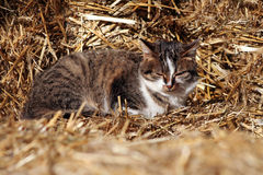 Kattunge på hö Arkivbilder