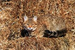 Kattunge på hö Royaltyfri Bild