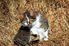 Kattunge på hö Arkivbild