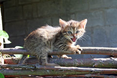 Kattunge på staketet Arkivfoton