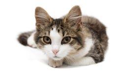 Kattunge på vit Royaltyfri Fotografi