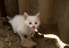 Kattunge som äter musen Arkivbild