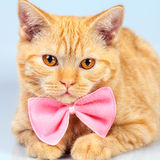 Kattunge som bär den rosa flugan Royaltyfri Fotografi