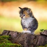 Kattunge som framåt stirrar arkivfoton