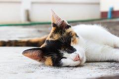 Kattunge som lägger ner på ett golv Arkivfoto