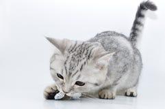 kattunge som leker den skotska silvertabbyen Arkivbilder