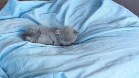 Kattunge som ligger i en blå säng stock video