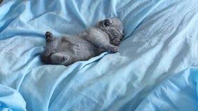 Kattunge som ligger på en blå säng arkivfilmer