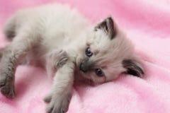 Kattunge som ligger på rosa bakgrund Royaltyfri Bild