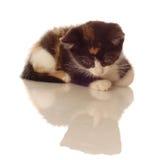 kattunge som ser reflexion Royaltyfria Bilder