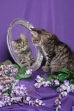 kattunge som ser spegeltigern Arkivfoto