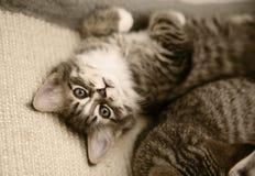 kattunge som ser upp Royaltyfri Bild