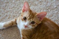 Kattunge som ser upp på kameran Royaltyfria Foton