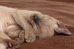 Kattunge som sover på en brun filt Arkivbild