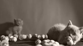 Kattunge som spelar bollar stock video