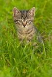 Kattunge som spelar i gräs Royaltyfria Bilder