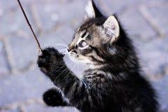 Kattunge som spelar, kattungeanseende på bakre ben, en kattunge med blåa ögon Royaltyfri Fotografi