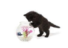Kattunge som spelar med bettafisken i bunke Royaltyfria Bilder